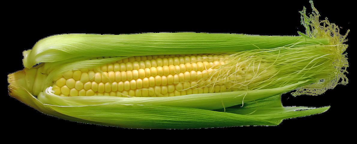 الذرة نقرشة الشتاء